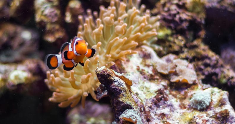 Clownfish with an anemone behind it ((photo credit: Chris Favero, https://www.flickr.com/photos/cfavero/7869406644).