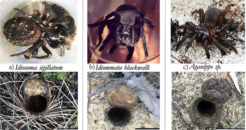 Three trapdoor spiders with corresponding images of different burrow types: twigs, leaves and bare ground.