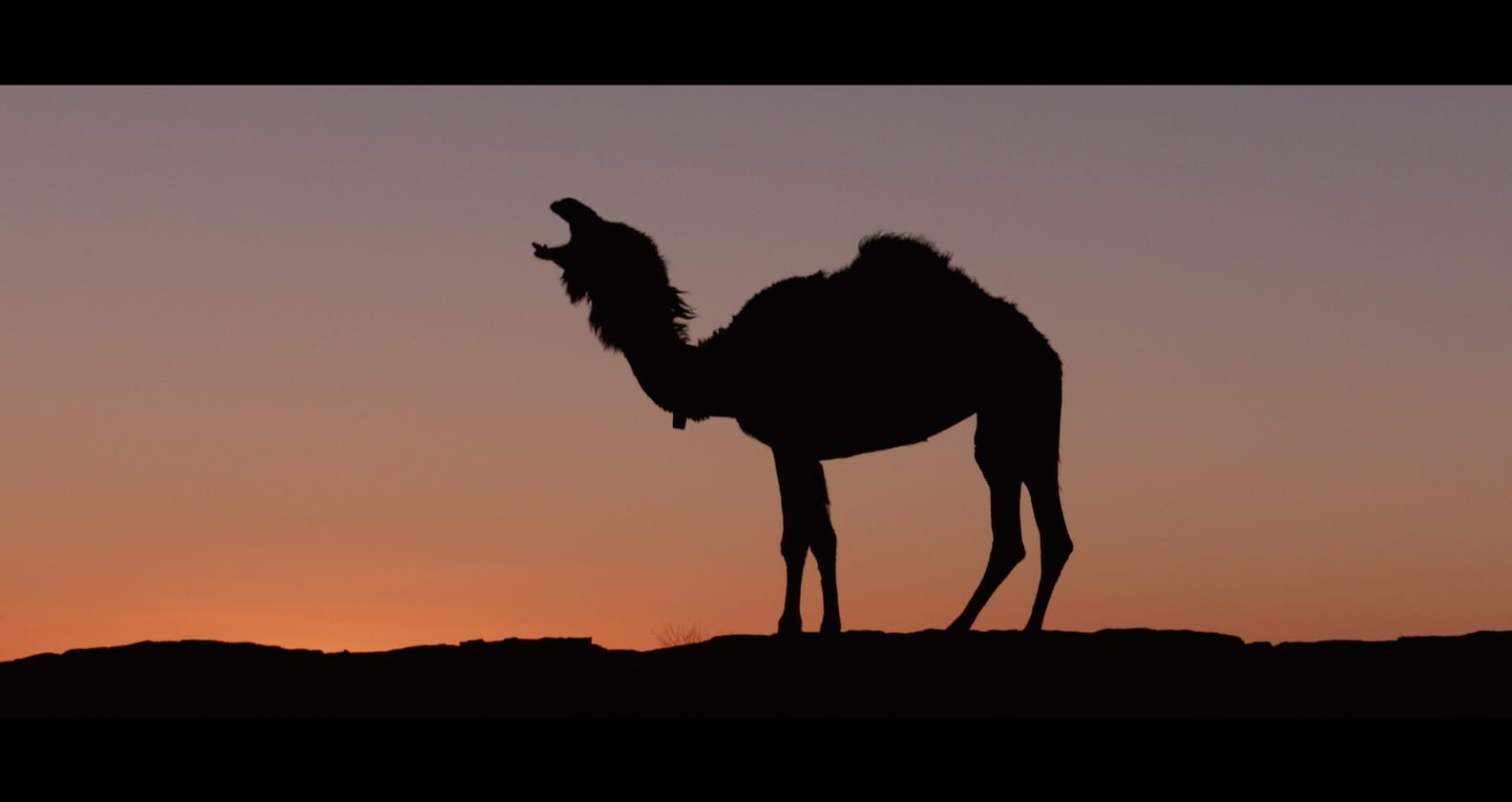 Silhouette of camel wearing Judas Collar