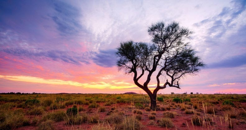A Hakea tree stands alone in the Australian outback during sunset.